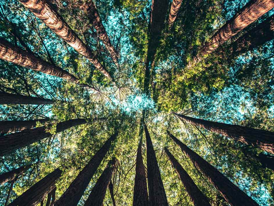 Upward sky shot of tree clusters