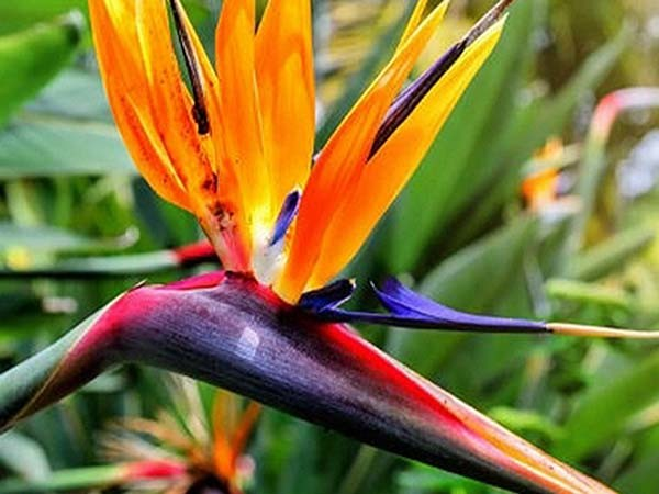 Bird of Paradise. Image Source: http://www.flowermeaning.com/bird-of-paradise-flower-meaning/